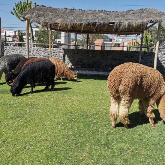 Arequipa-Alpaca