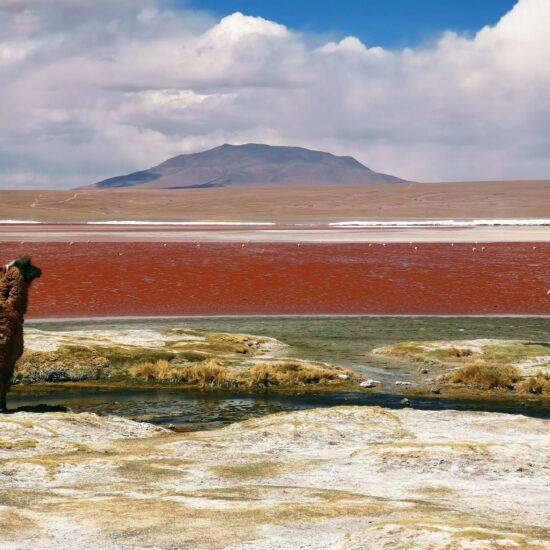 Bolivia-Eduardo-Avaroa-National-Reserve-Laguna-Colorada-Alpaca