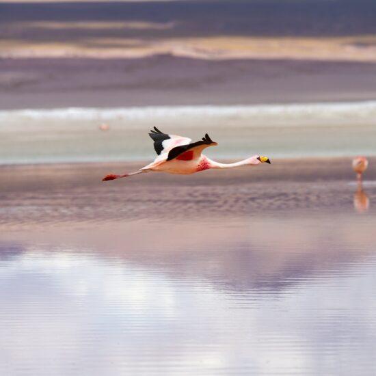 Bolivia-Eduardo-Avaroa-National-Reserve-Laguna-Colorada-Flamingo