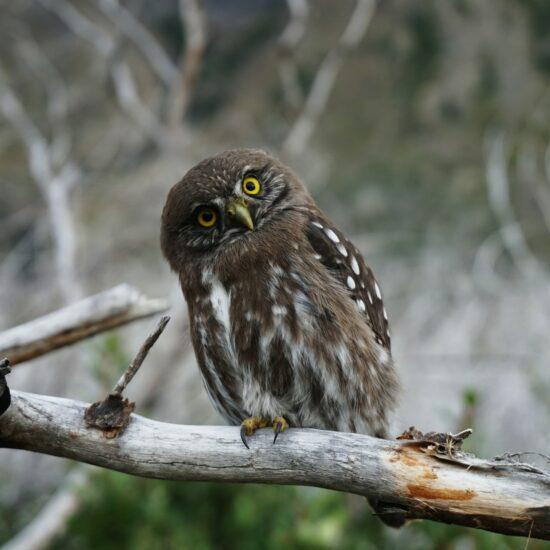 Chile-Patagonia-Torres-del-Paine-Owl